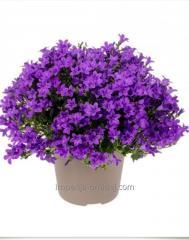 Кампанула Ambella Intense Purple