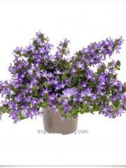Кампанулы Adansa Purple