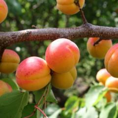 Саженцы абрикоса Нью Джерси