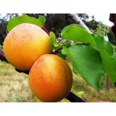 Саженцы абрикоса Оболонский