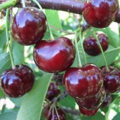 Саженцы вишни Келлерис