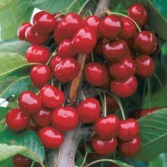 Саженцы вишни Ранняя