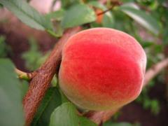 Персик Мария