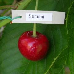 Саженцы черешни Саммит