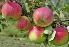 Яблоня Свежесть