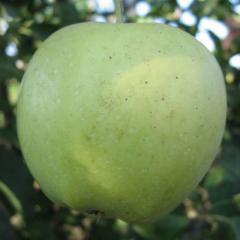 Grüne Apfelsämlinge