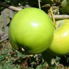 Sämlinge des Apfelbaums Emerald