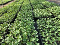 Material planting