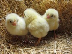 Цыплята бройлеры  кросса Кобб 500