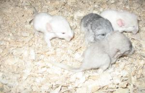 Breeding chinchillas