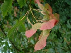 Клен польовий Acer campestre