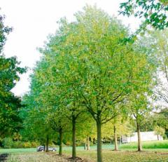 Клен сріблястий Acer saccharinum