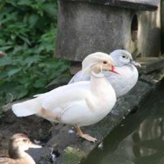 Белая утка каролинка - пара