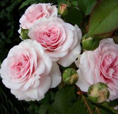 Троянда лат. Rose в асортименті