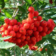 Рябина красна саженцы(h 0.7-1м)