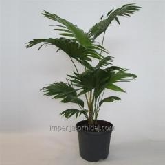 Пальма ливистона Rotundifolia
