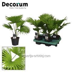 Пальма Livistona Rotendifolia
