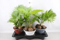 Пальма Livistona Rotundifolia 7 A hosta...