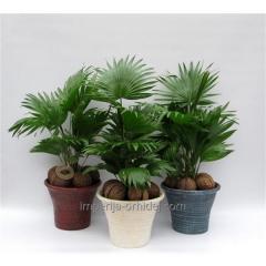Пальма Livistona Rotundifolia
