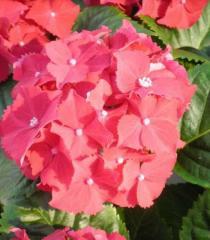 Гортензия крупнолистная Royal Red