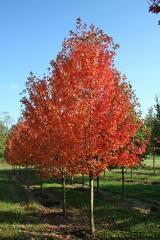 Клён остролистный Autumn Blaze