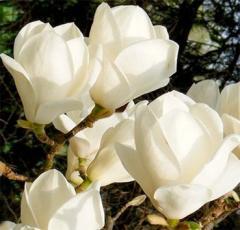Magnolia soul. Lenna