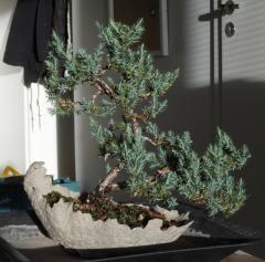 Juniper of the Chinese Stricta bonsai