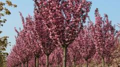 Сакура Royal Burgundy