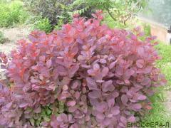 Скумпия обыкновенная Royal Purple