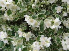 Чубушник венечный/жасмин садовый Variegatus