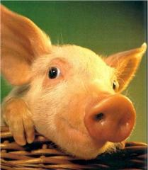 Pork meat - half carcasses, Pork half carcass