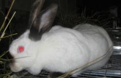 Rabbits, I will sell. Lviv, smt. Bryukhovich,