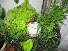 Семена зелени салатной многолетней и однолетней в