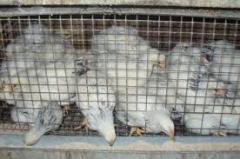 Цыплята мясо-яичных пород кур, купить (продажа)