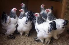 Молодняк кур, купить (продажа) оптом, в Кагарлыке