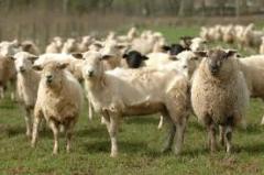 Овцы племенные, Овцы племенные, Племенные