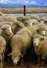 Production of animal husbandry, Merino, state of