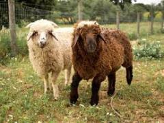 Мясомолочные животные, Мясомолочные животные,