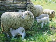 Farm animals, sheep, animals, Merino, state of
