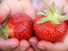 Strawberry wholesale for production of dried.