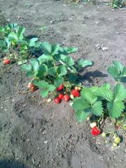 Cultivation of strawberry. Strawberry saplings.