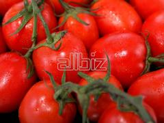 The tomatoes of Advans which are grown up on