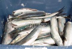 Рыба живая, охлажденная, свежемороженая Карась,