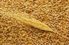 Пшеница третьего класса, пшеница 3 класс