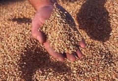 Oats grains