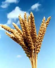 Пшеница оптом, Украина