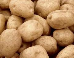Картофель сортовой, купить картофель