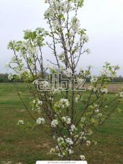 Деревья плодовые