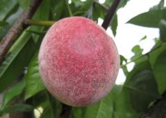 Grade peach Kiev early sale delivery wholesale