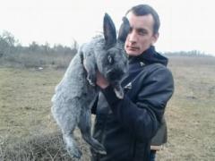 Кролики породы Серебристый.